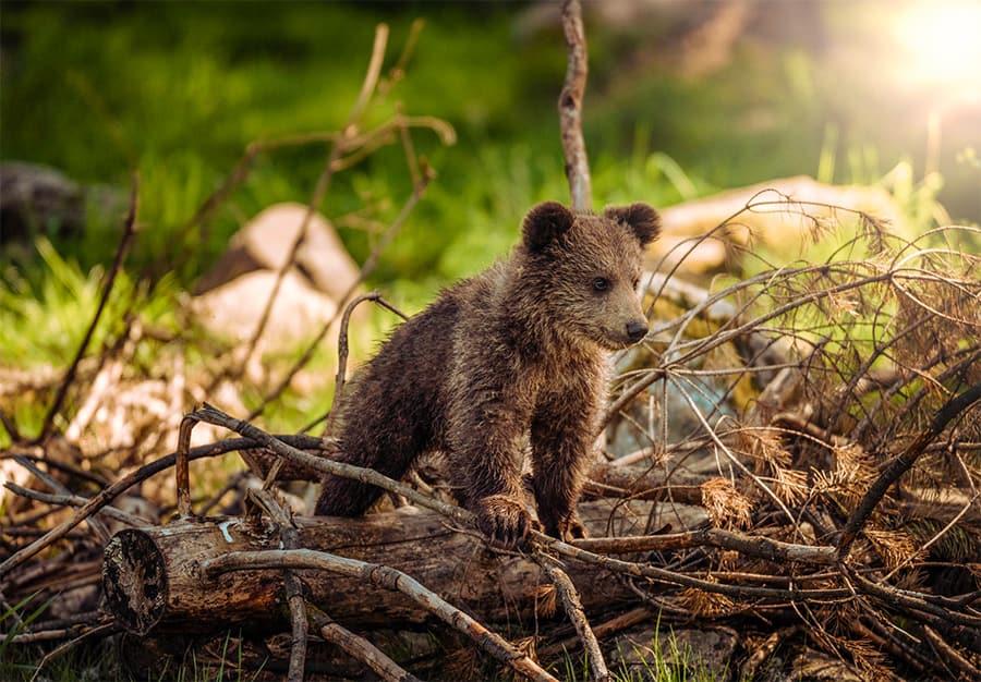 bear names - bear cub