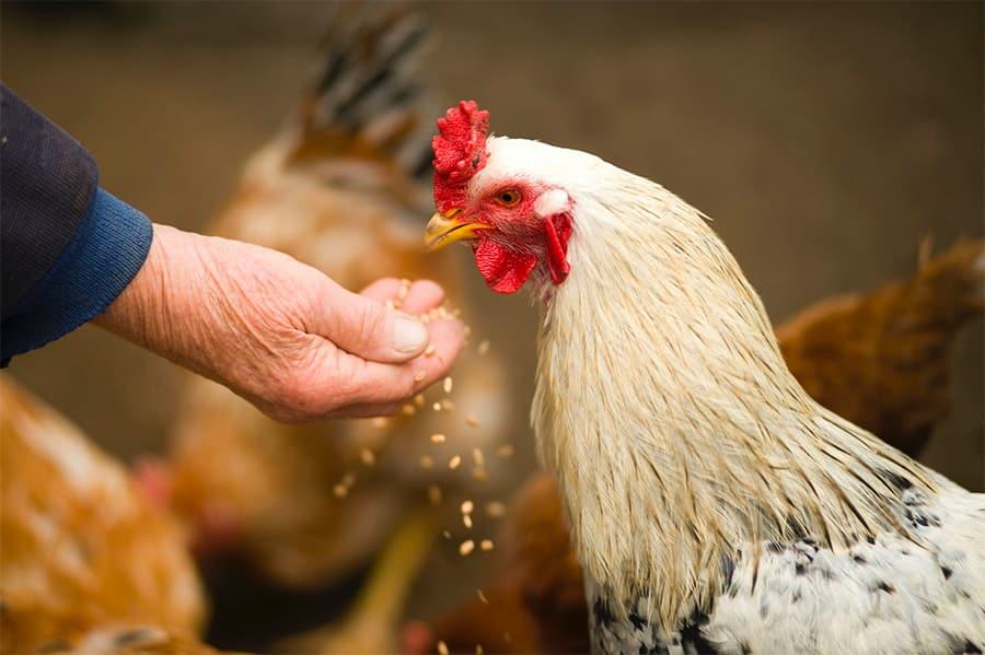 chicken being fed