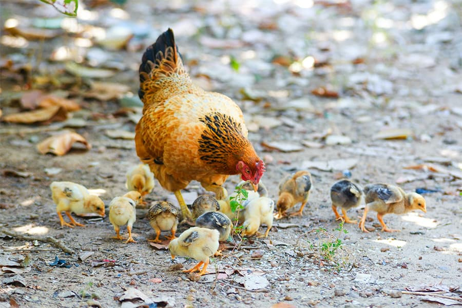 chicken and chicks eating