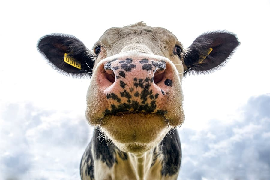 cow names - close up