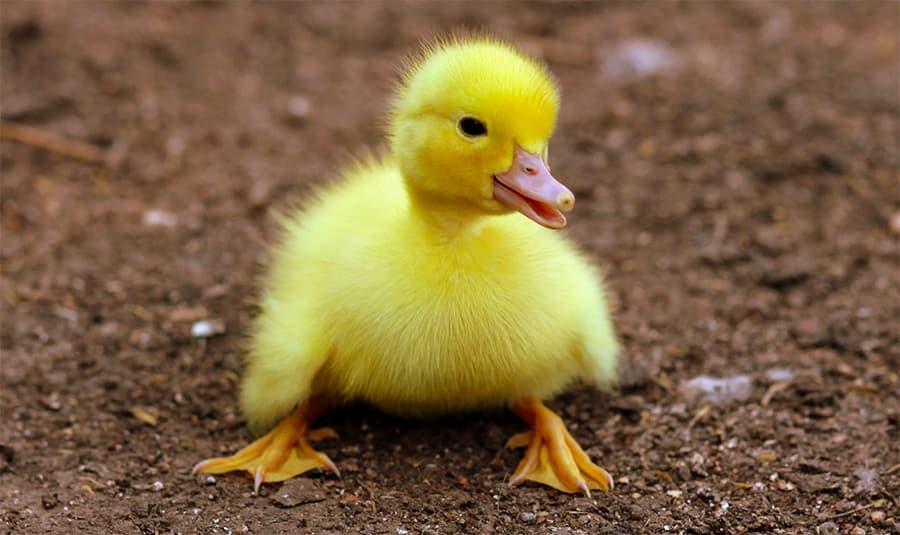duck names duckling