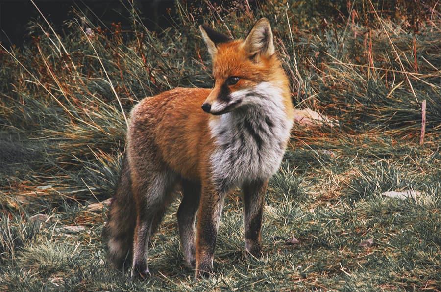 fox names - fox in grass