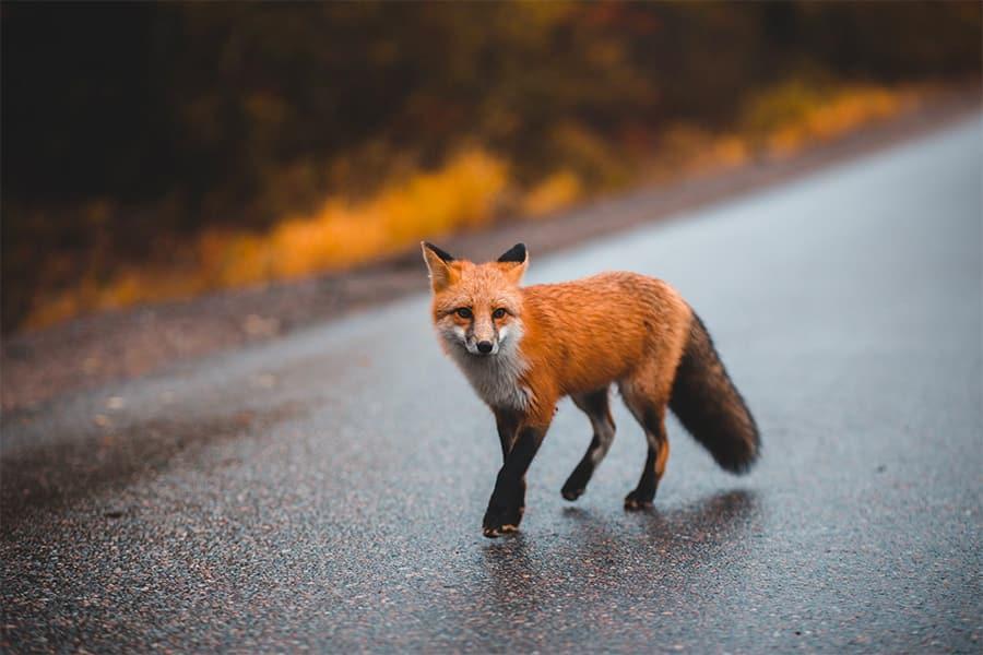 fox names - fox crossing street