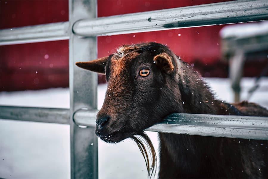 goat names - brown goat in pen