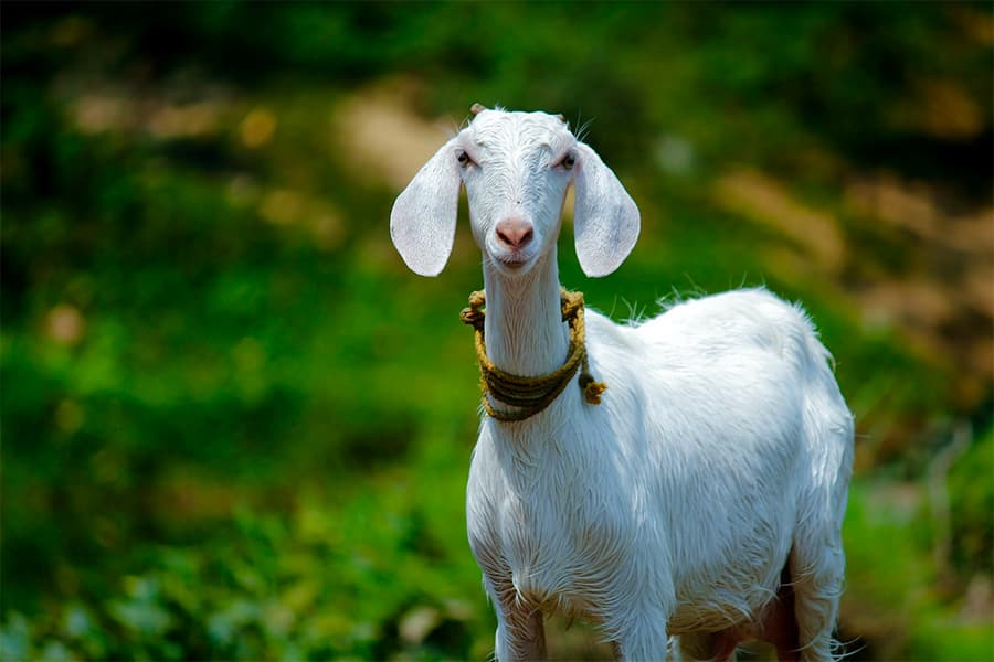 white goat with big ears