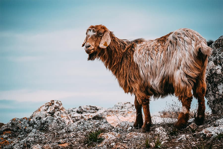 hairy brown goat