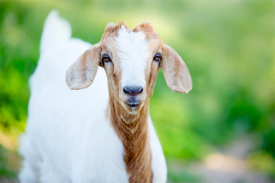 goat names - white and brown goat