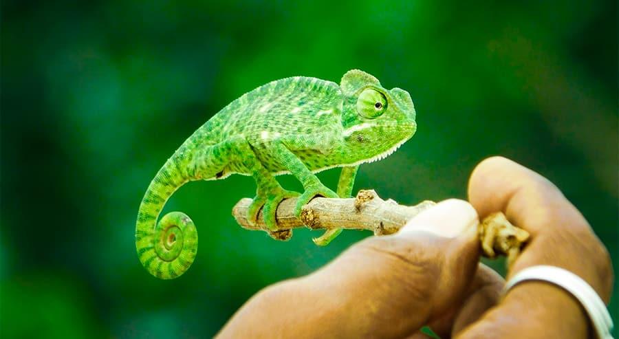 lizard names - chameleon
