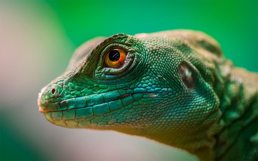 lizard names - lizard eye