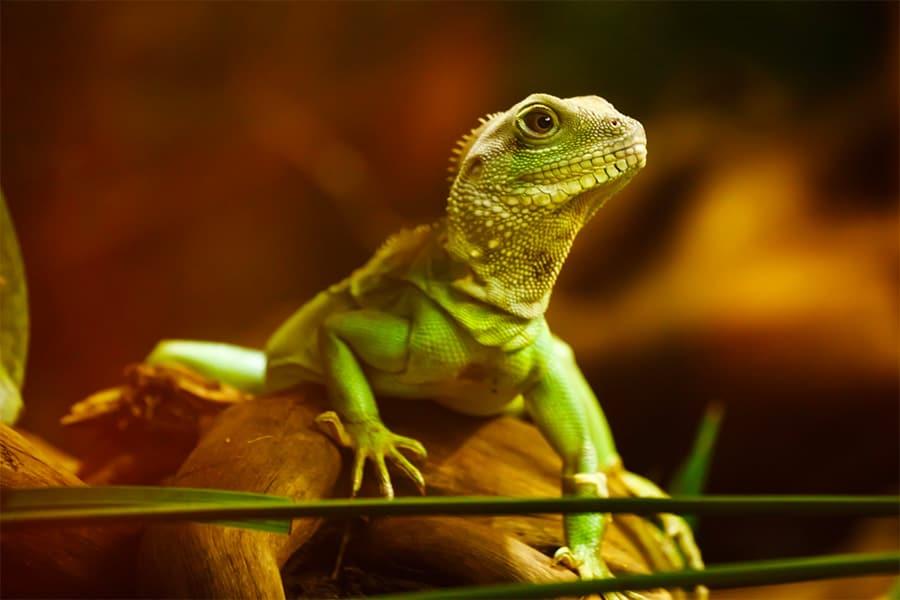 lizard iguana on stick