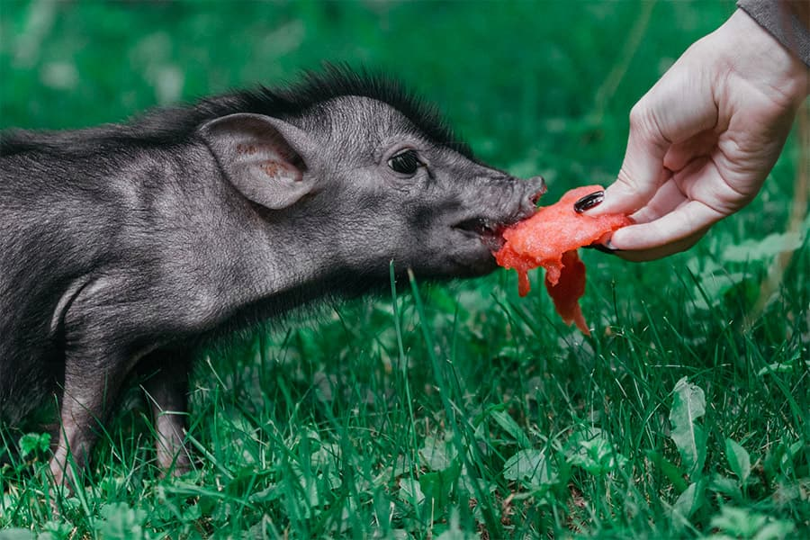 black piglet eating