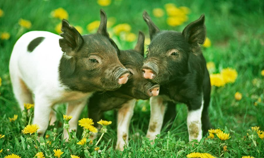 pig names - piglets in grass