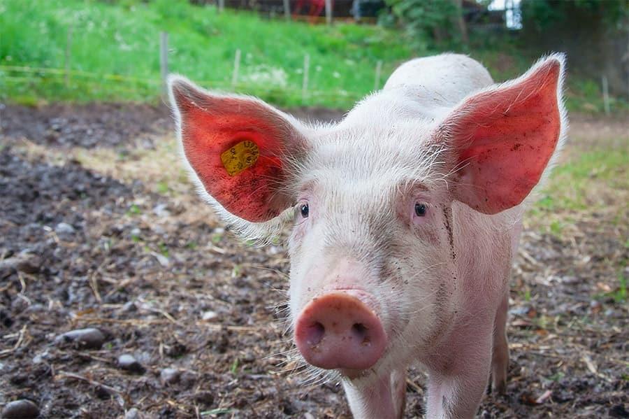 pink pig in yard