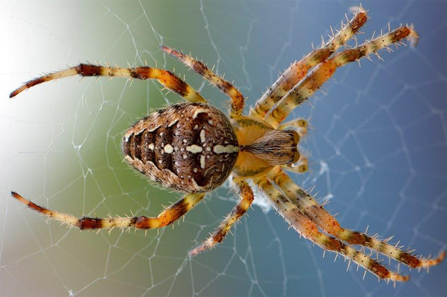 orange and brown spider on web