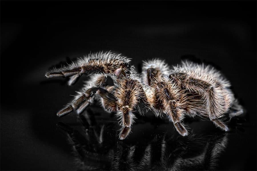 tarantula from side