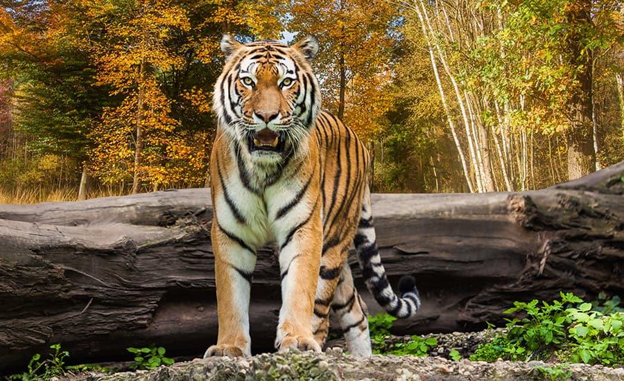tiger names - tiger in woods
