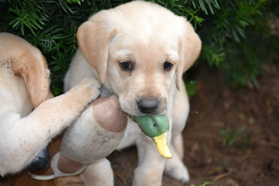 toby puppy with duck