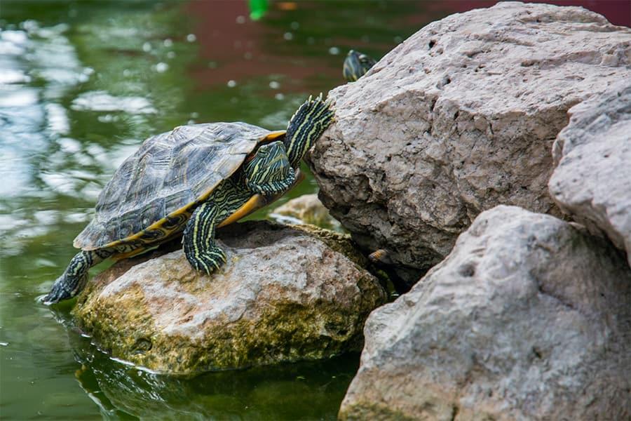 turtle climbing on rocks