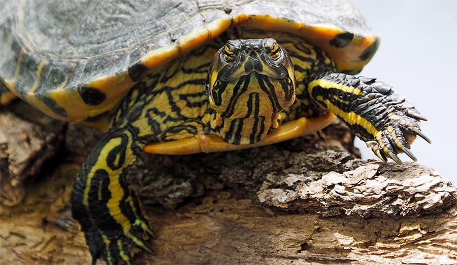 turtle names - yellow turtle