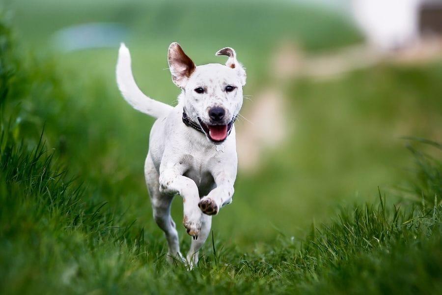 dog jumping through grass