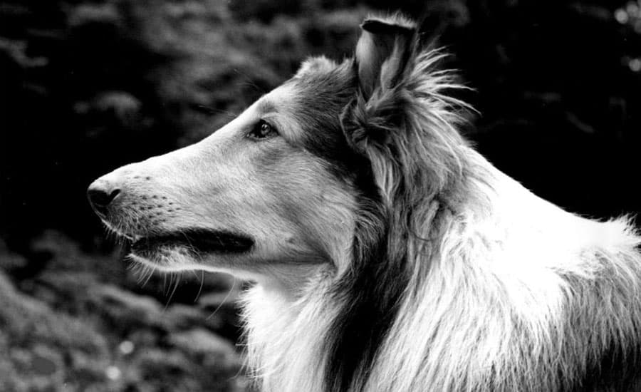 collie in black and white