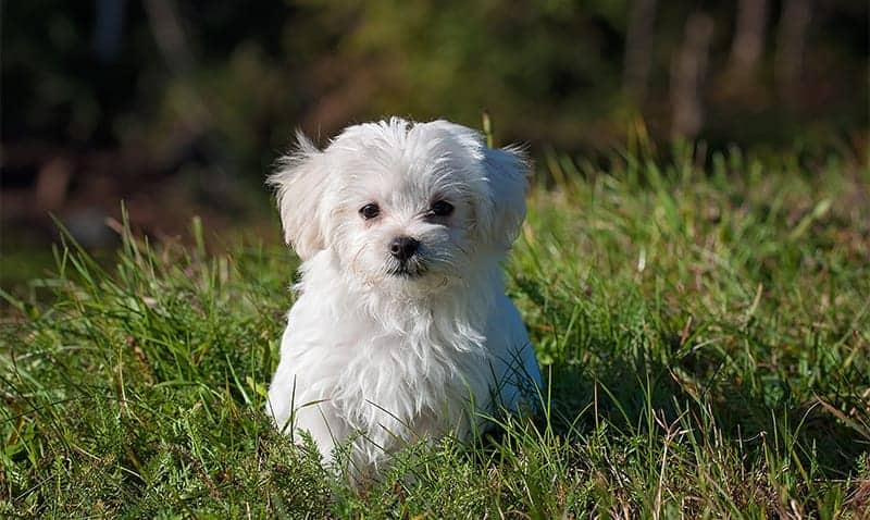 small maltese in grass