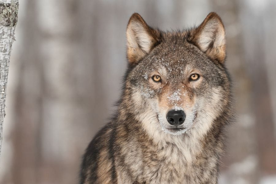 wolf name generator wolf in the woods