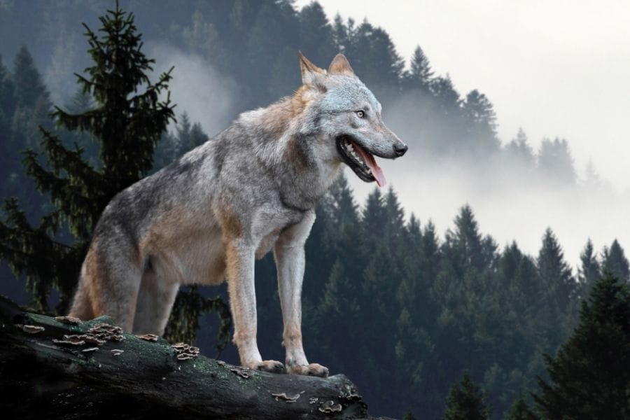 wolf standing on a cliff